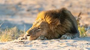 Pictures Lions Sleep Sand animal