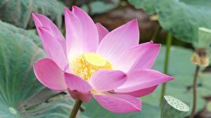 Bilder Lotosblume Hautnah Rosa Farbe Blumen