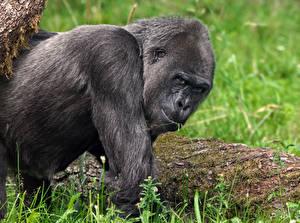 Fotos & Bilder Affen Blick Tiere