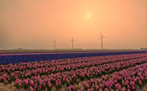 Hintergrundbilder Niederlande Sonnenaufgänge und Sonnenuntergänge Felder Hyazinthen Viel Blumen