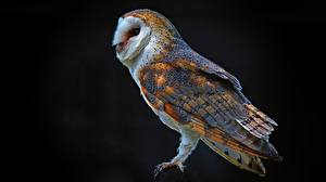 Wallpapers Owls Black background Barn owl