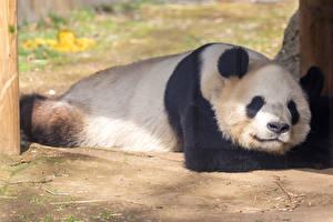 Picture Giant panda Sleeping animal