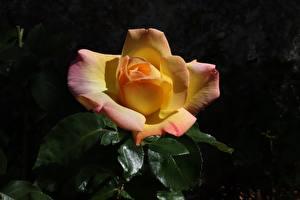 Hintergrundbilder Rosen Großansicht Blüte