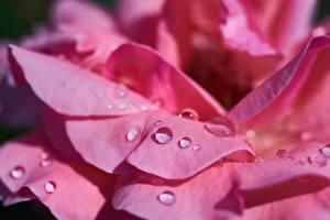 Hintergrundbilder Rose Großansicht Rosa Farbe Kronblätter Tropfen Blumen