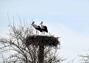 Wallpaper Stork Birds Nest Branches Two Animals