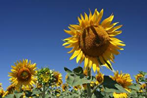 Hintergrundbilder Sonnenblumen Acker Blumen
