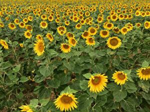 Fotos & Bilder Sonnenblumen Viel Felder Blumen