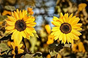 Fotos & Bilder Sonnenblumen Zwei Gelb Blumen