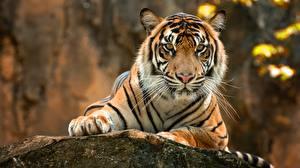 Bilder Tiger Blick Pfote Schnurrhaare Vibrisse Tiere