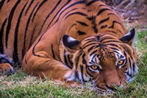 Hintergrundbilder Tiger Liegt Starren ein Tier