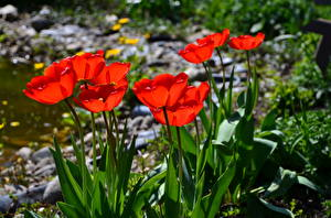 Image Tulips Red flower