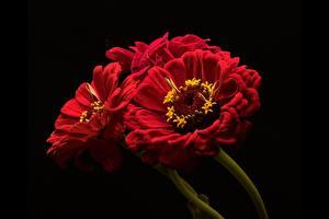 Fotos Zinnien Großansicht Rot Schwarzer Hintergrund Blüte