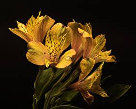 Bilder Alstroemeria Nahaufnahme Schwarzer Hintergrund Gelb Blumen