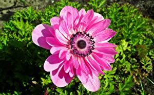 Bilder Windröschen Nahaufnahme Rosa Farbe