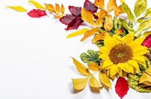 Fotos Herbst Sonnenblumen Weißer hintergrund Blattwerk Vorlage Grußkarte Blumen