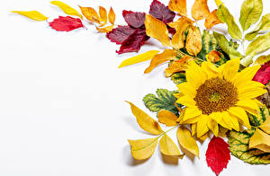 Images Autumn Sunflowers White background Foliage Template greeting card Flowers