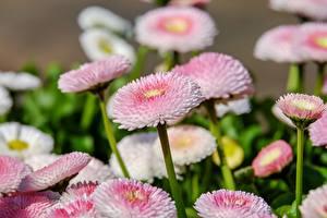 Bilder Gänseblümchen Viel Rosa Farbe Unscharfer Hintergrund Blüte