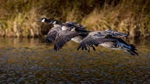 Hintergrundbilder Vögel Flug Drei 3 Canada goose Tiere