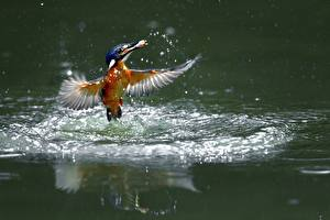 Bilder Vögel Eisvogel Spritzwasser