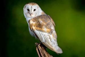 Wallpaper Bird Owls Bokeh barn owl