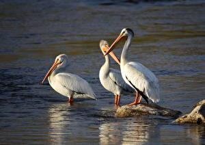 Hintergrundbilder Vögel Steine Pelikane Drei 3 American White Pelican ein Tier