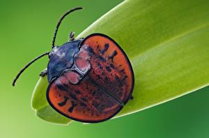 桌面壁纸,,甲虫,特寫,微距攝影,Leaf beetle,動物