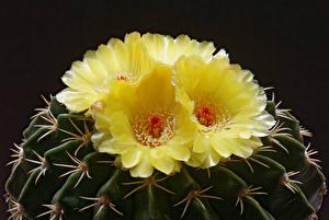 Fotos Kakteen Nahaufnahme Schwarzer Hintergrund Gelb Blüte