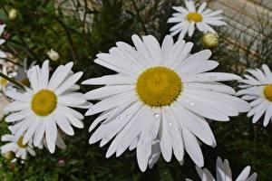 Bilder Kamillen Großansicht Tropfen Blumen