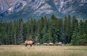 Wallpaper Canada Park Forests Mountains Deer Banff Spruce Nature Animals