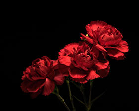 Picture Carnations Closeup Black background Three 3 Red Flowers