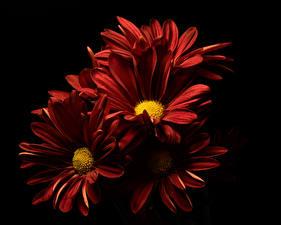 Bilder Chrysanthemen Hautnah Schwarzer Hintergrund Dunkelrote Blüte