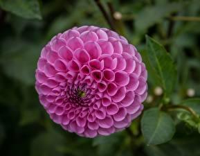 Hintergrundbilder Dahlien Nahaufnahme Kreise Rosa Farbe Blüte