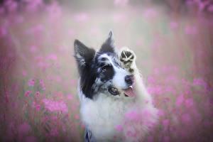 Fotos Hunde Border Collie Süß