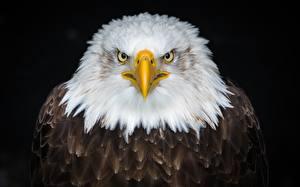 Pictures Eagles Birds Bald Eagle Black background