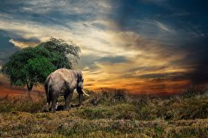 Photo Elephant Grass animal