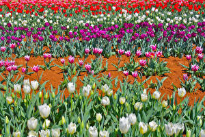 Wallpaper Fields Tulips Many Multicolor Flowers
