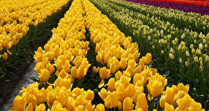 Images Fields Tulips Yellow Flowers