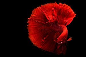 Fonds d'écran Poisson En gros plan Fond noir Rouge Siamese fighting fish
