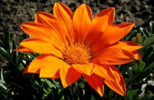 Hintergrundbilder Gazania Hautnah Orange Blüte