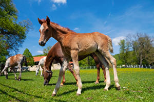 Tapety na pulpit Konie Młode zwierzęta Trawa Wybieg zwierzę