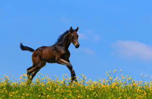 Pictures Horses Cubs Running animal