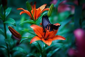 Fotos Lilien Schmetterlinge Orange