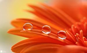 Fotos Makrofotografie Nahaufnahme Gerbera Orange Tropfen Blütenblätter Blumen