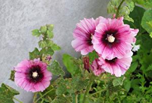 Fotos Malven Hautnah Rosa Farbe Blumen