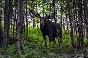 Fotos Elch Wald Tiere