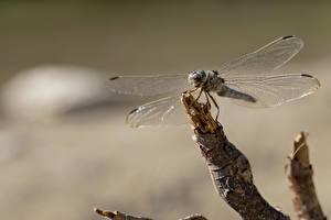 Fotos Libellen Großansicht Ast Tiere