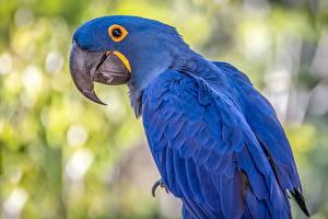 Desktop hintergrundbilder Papageien Vögel Eigentliche Aras Blau Hyacinth macaw Tiere