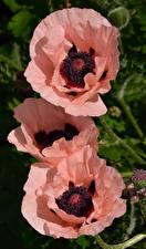 Hintergrundbilder Mohn Großansicht Drei 3 Rosa Farbe Blumen