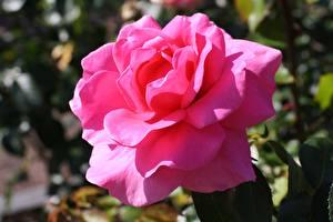 Hintergrundbilder Rose Nahaufnahme Rosa Farbe Blüte