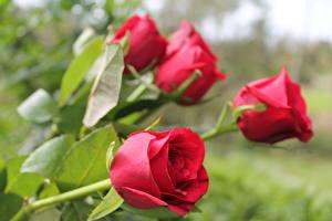 Bilder Rosen Nahaufnahme Rot Blüte
